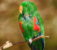 red-sided-parrot-2
