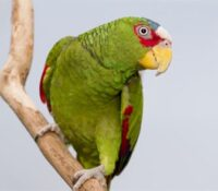 White Fronted Amazon